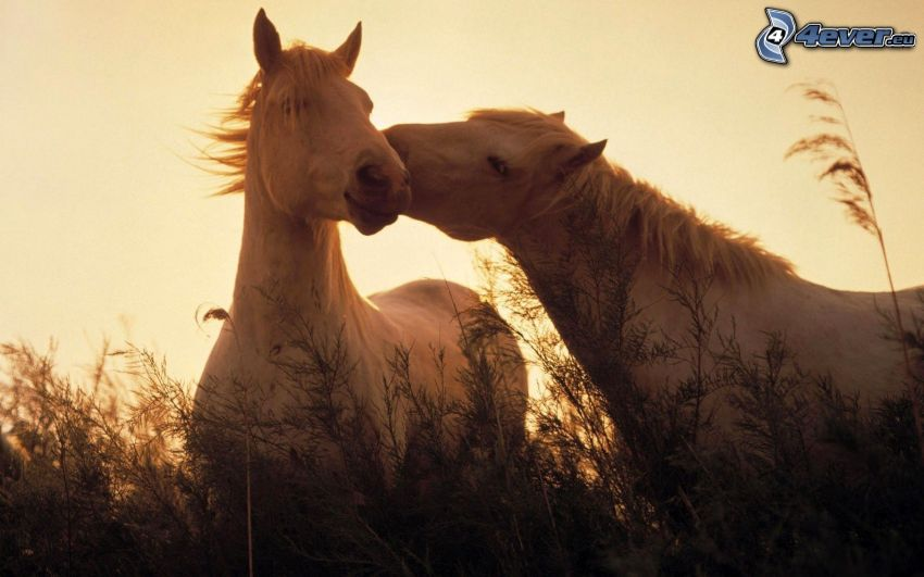 Pferde, hohes Gras