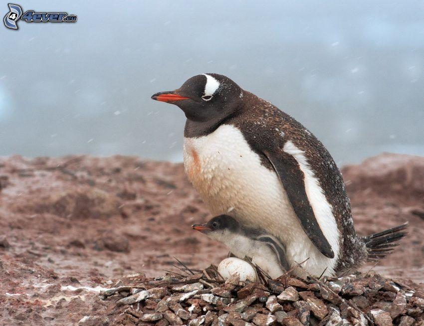Pinguin und sein Jungtier, Ei, Nest, Steine