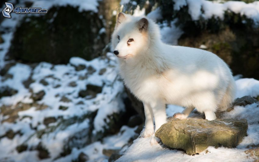 Polarfuchs, Felsen, Schnee