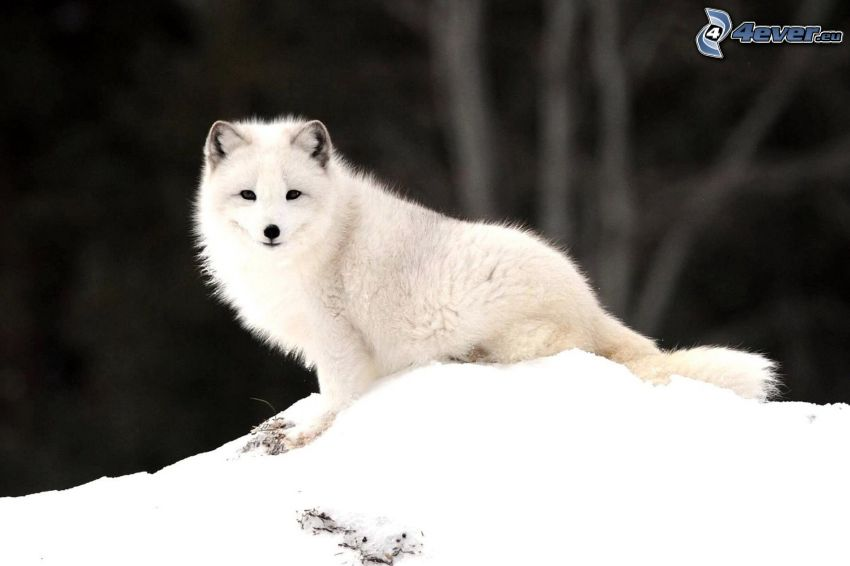 Polarfuchs, Schnee