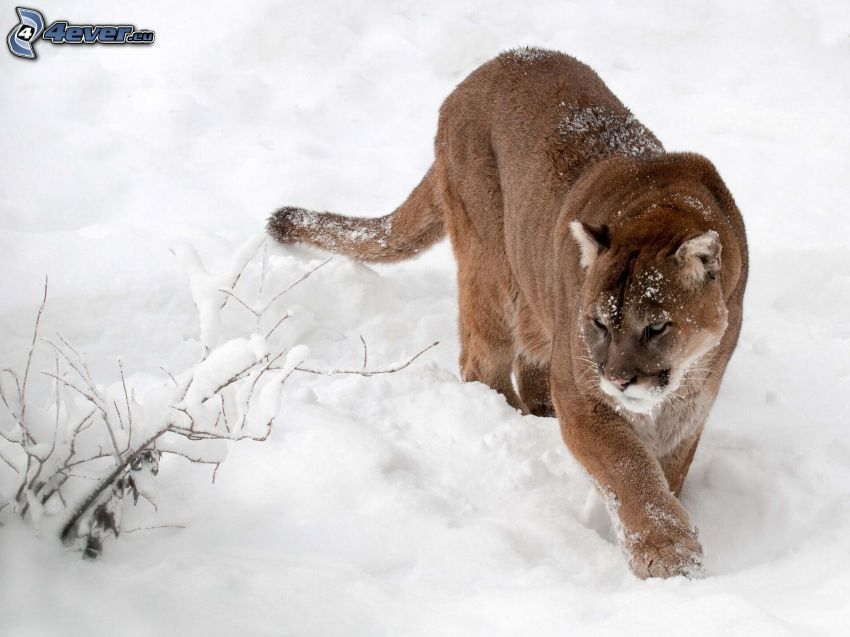 puma, Schnee