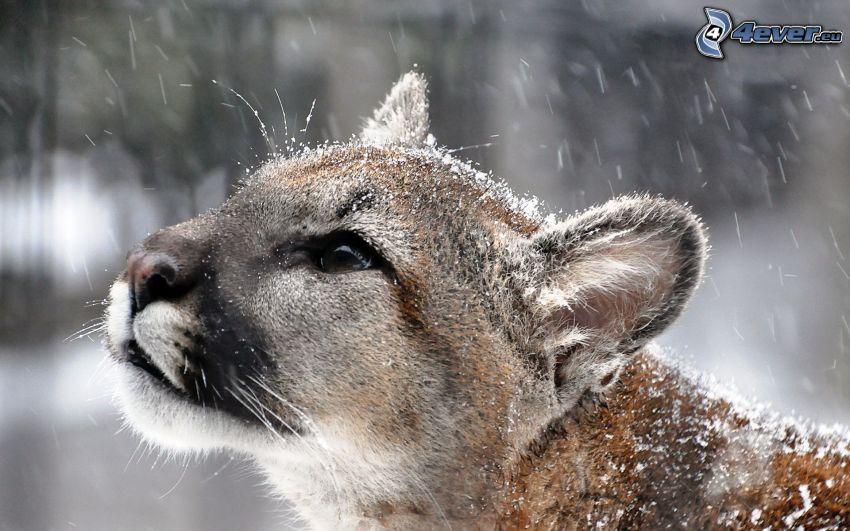 puma, schneefall