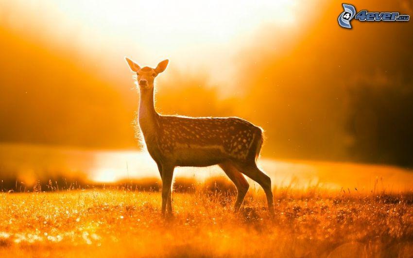 Reh, orange Sonnenuntergang