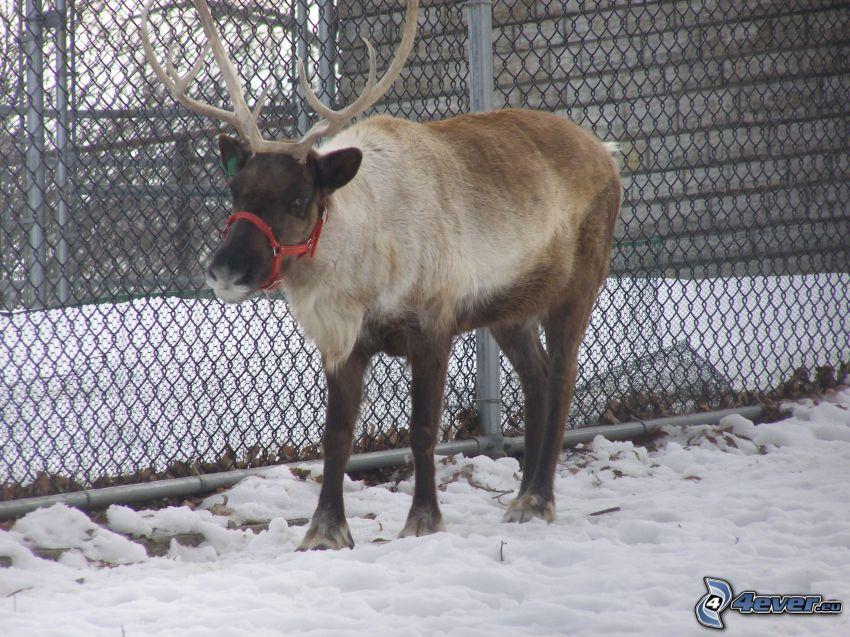 Rentier, Schnee