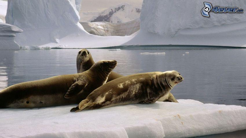 Robben auf dem Eis