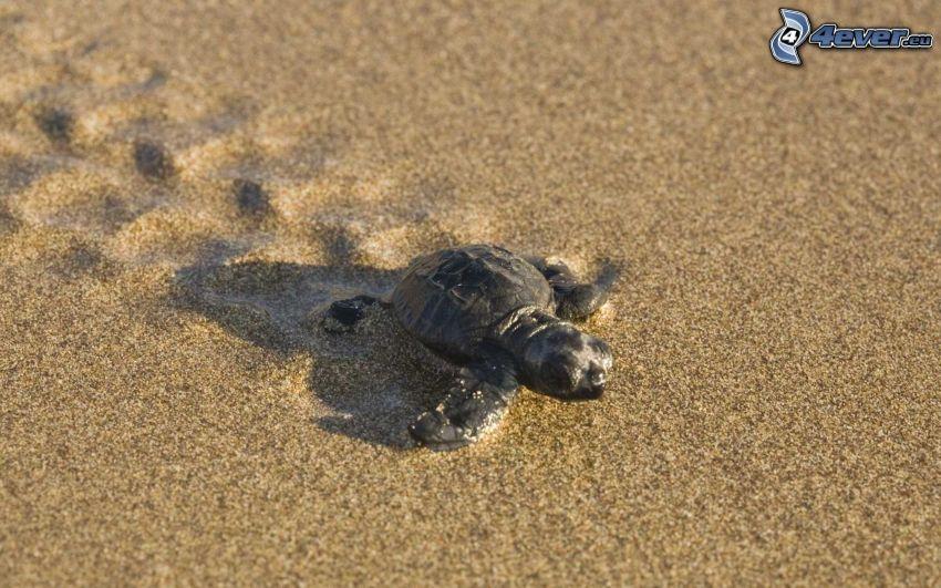 Schildkröte, Jungtier, Sand