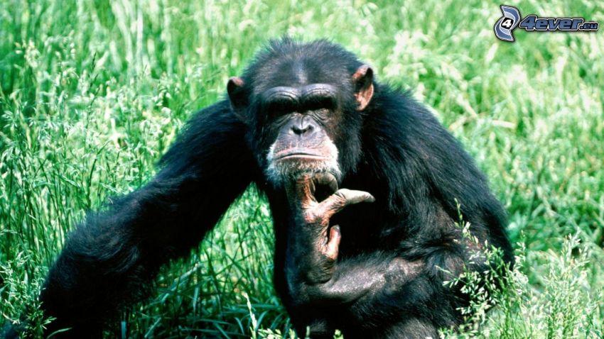 Schimpansen, grünes Gras