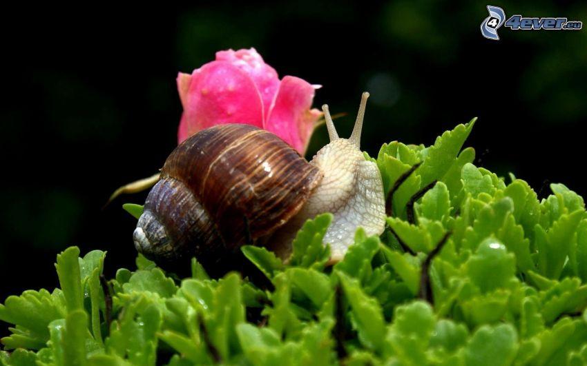 Schnecke, Pflanzen, rosa Blume