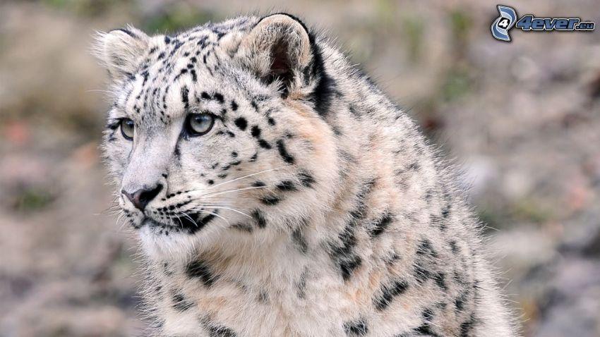 Schneeleopard, Blick