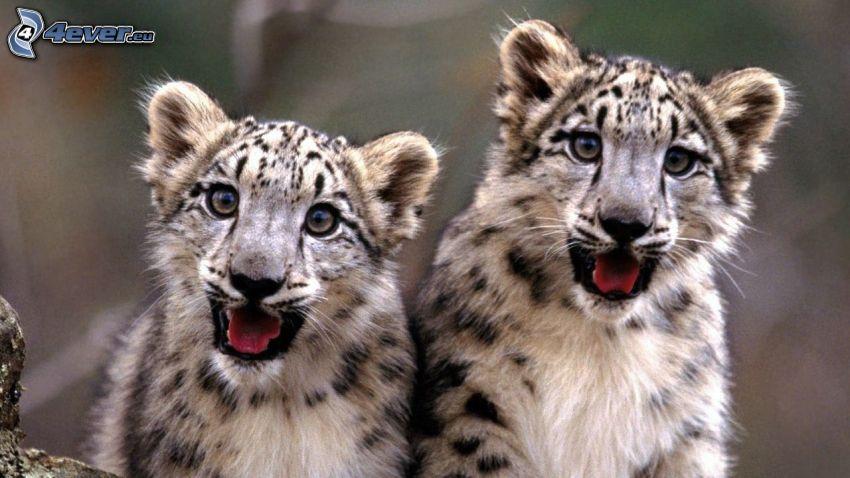 Schneeleopard, Jungtiere, Leoparden