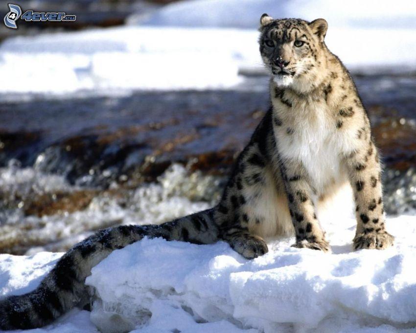 Schneeleopard, Schnee, Fluss