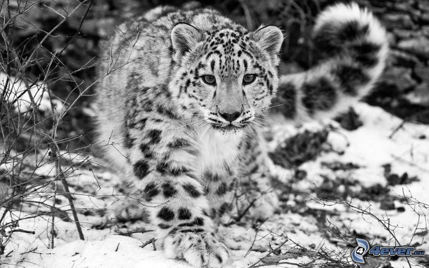 Schneeleopard, Schwarzweiß Foto