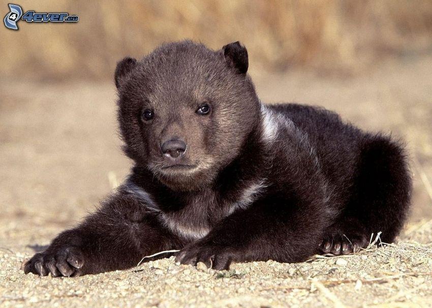 schwarzer Bär, Jungtier