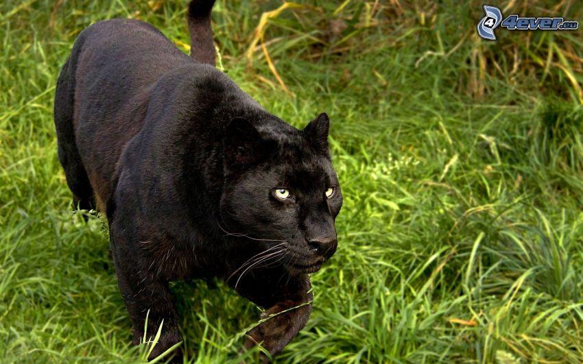 schwarzer Panther, grünes Gras