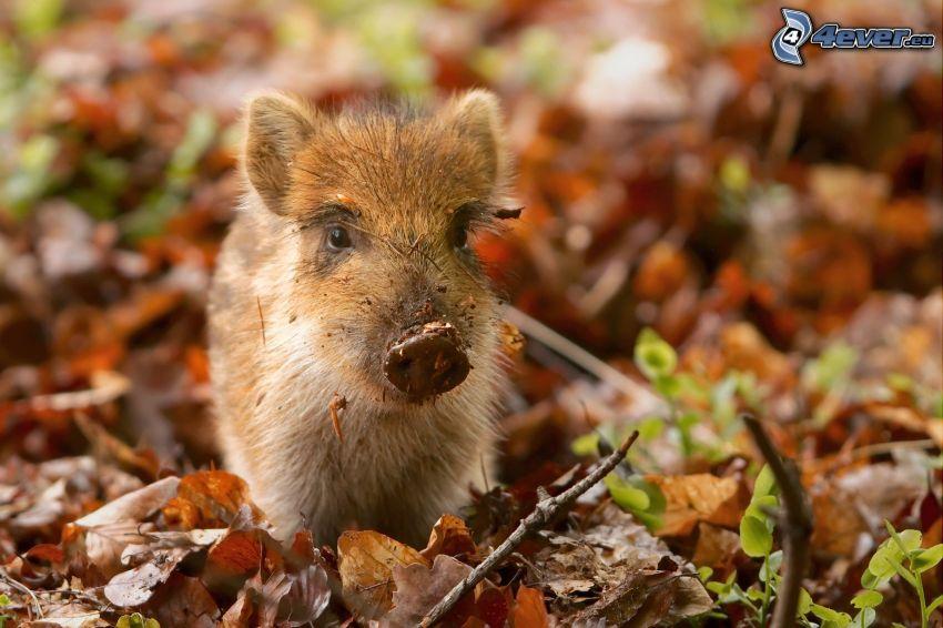 Schwein, trockene Blätter