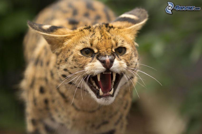 Serval, Gebrülle