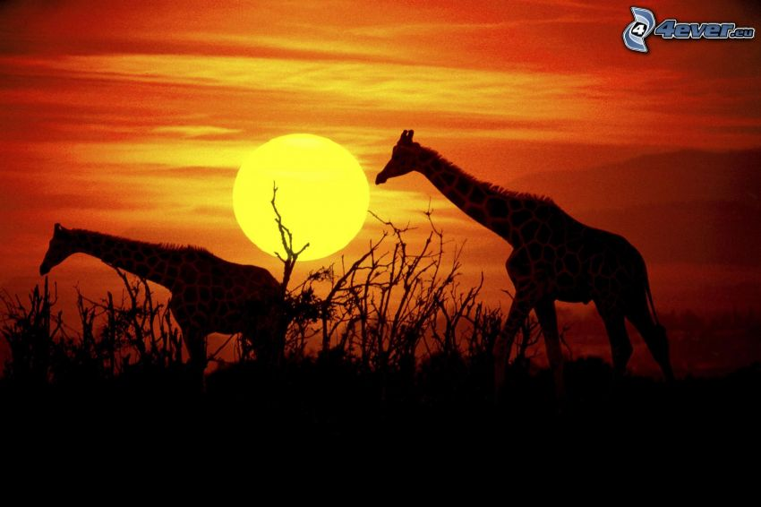 Silhouetten von Giraffen, orange Sonnenuntergang