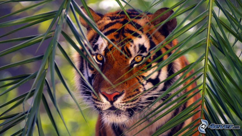 Tiger, Blätter