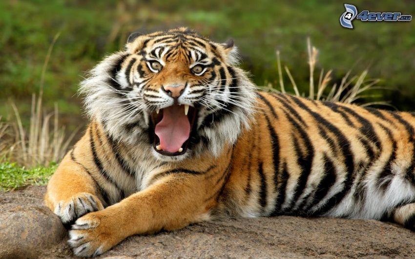 Tiger, Fangzähne, Gebrülle