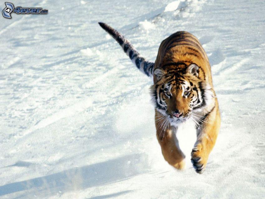 Tiger, Laufen, Schnee