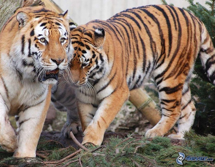 Tiger, Nadelästchen