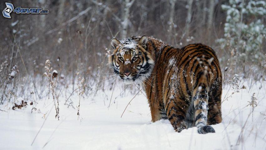 Tiger, Schnee