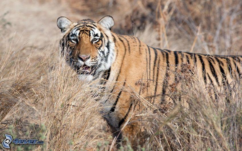 Tiger, trockenes Gras