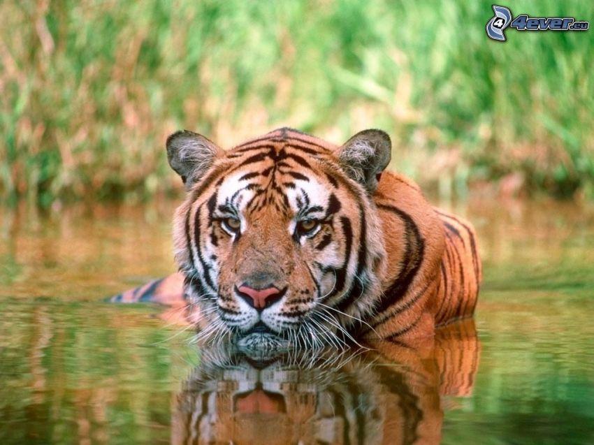 Tiger im Wasser, Fluss