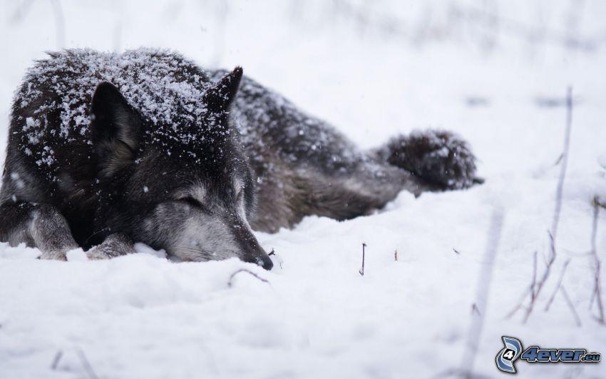 verschneiter Wolf, Wolf im Schnee, Schlafen