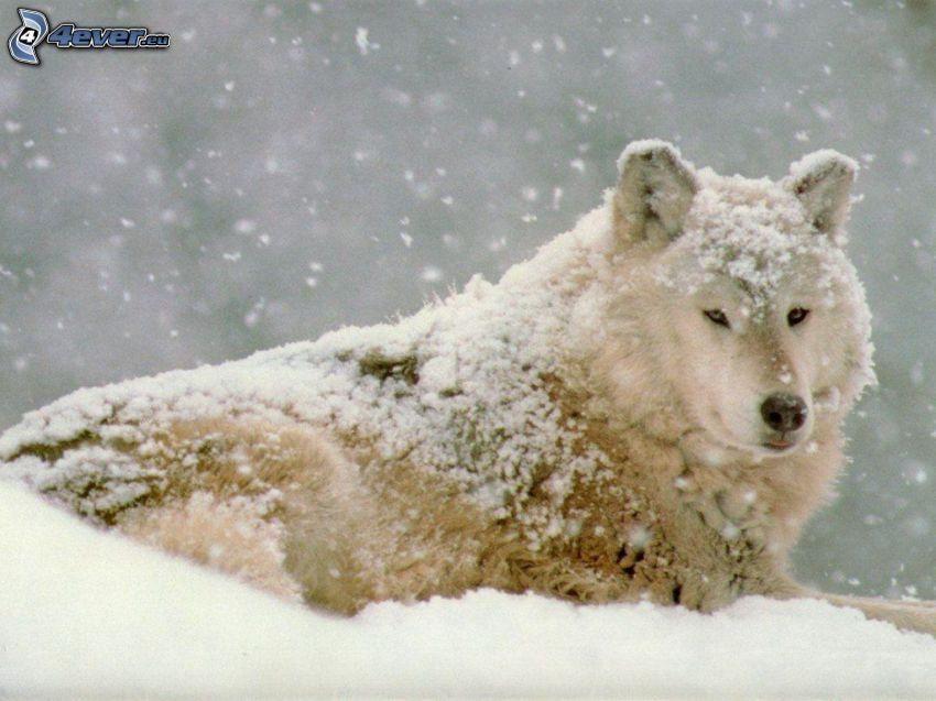 verschneiter Wolf