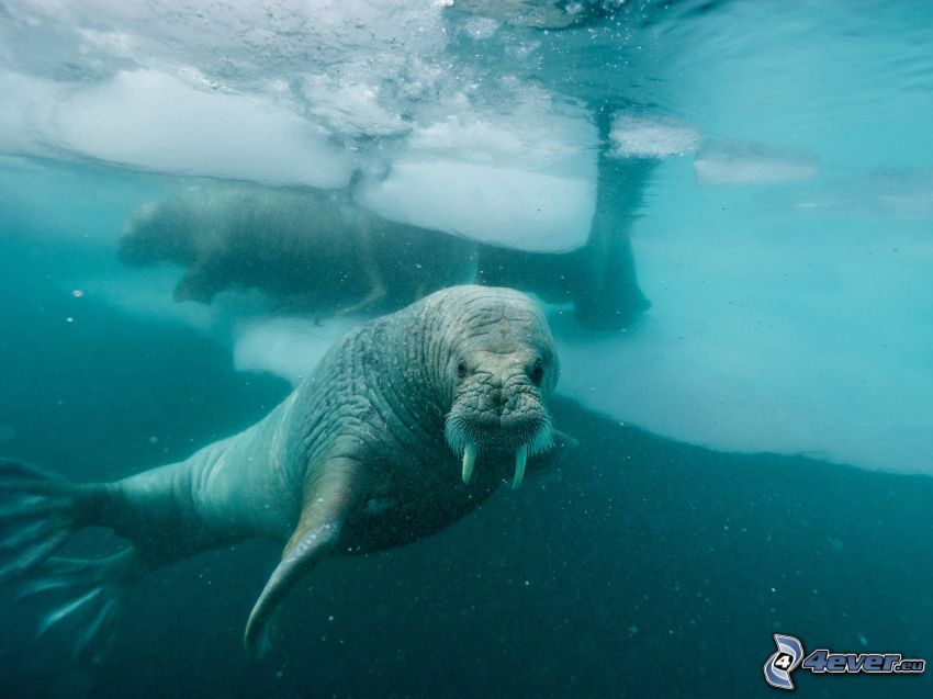 Walrösse, Eisschollen, Wasser