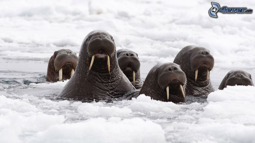 Walrösse, Köpfe, Schnee