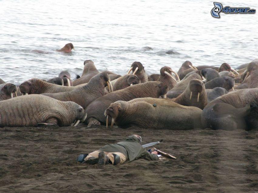 Walrösse, Strand, Meer