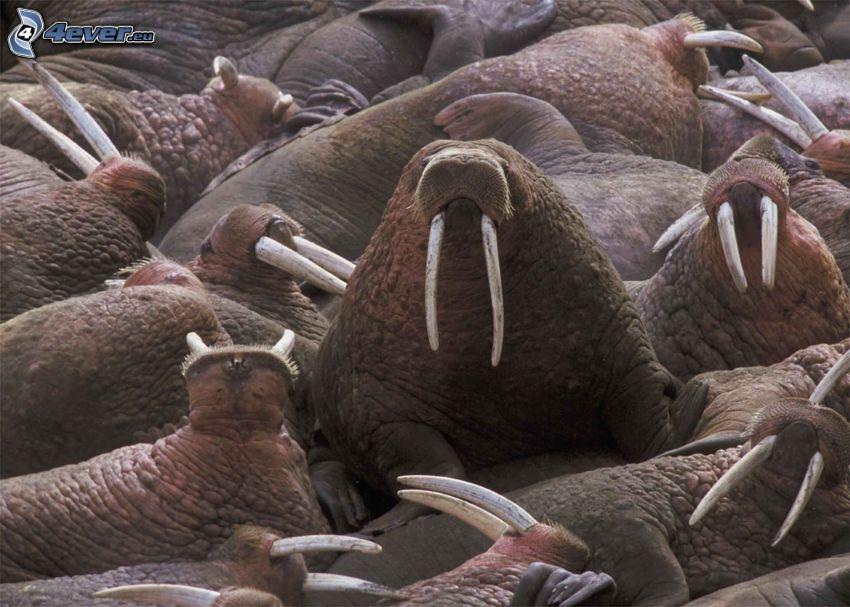 Walrösse