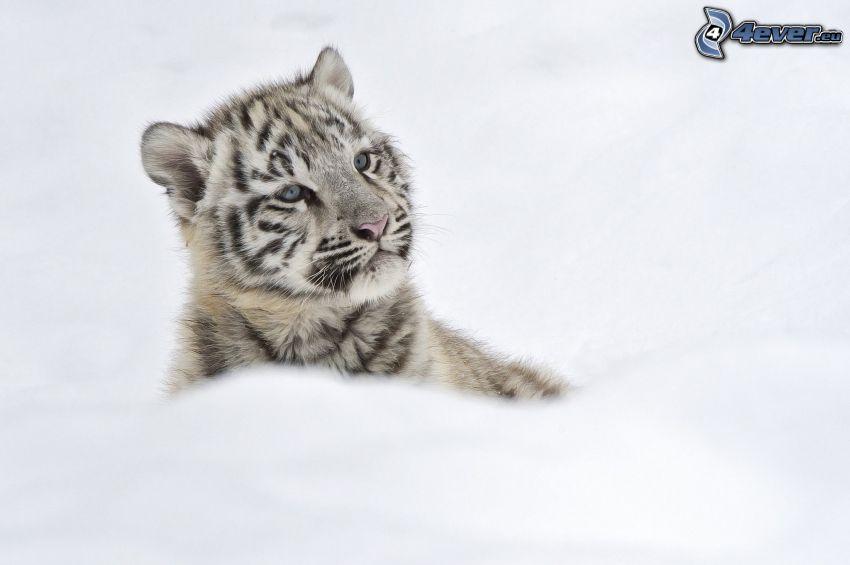 Weiser Tiger, Jungtier