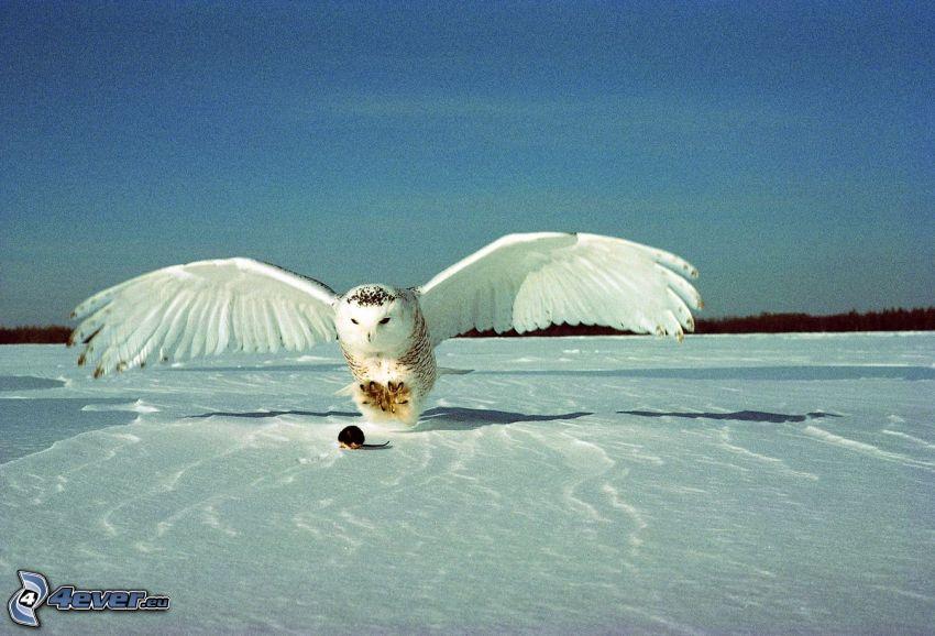 weiße Eule, Maus, Schnee, Himmel, Flügel