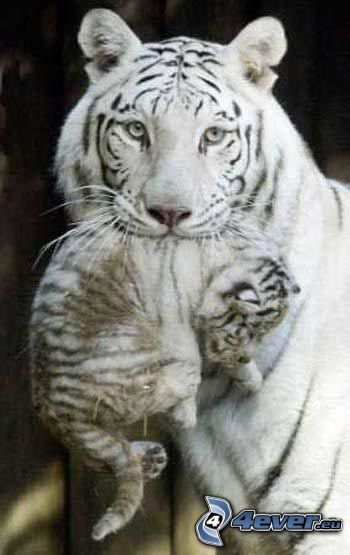 weiße Tiger, Jungtier
