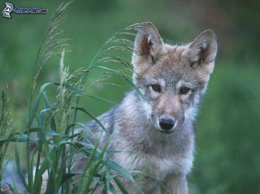 Welpe von Wolf