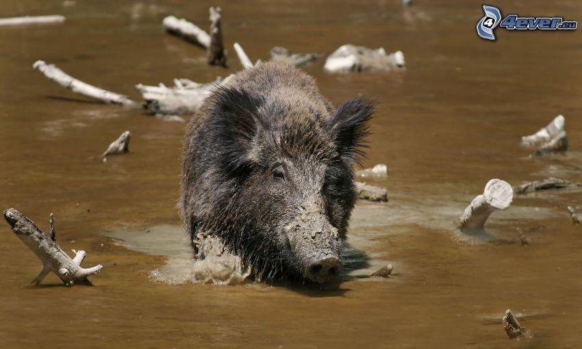 Wildschwein, Fluss, Äste