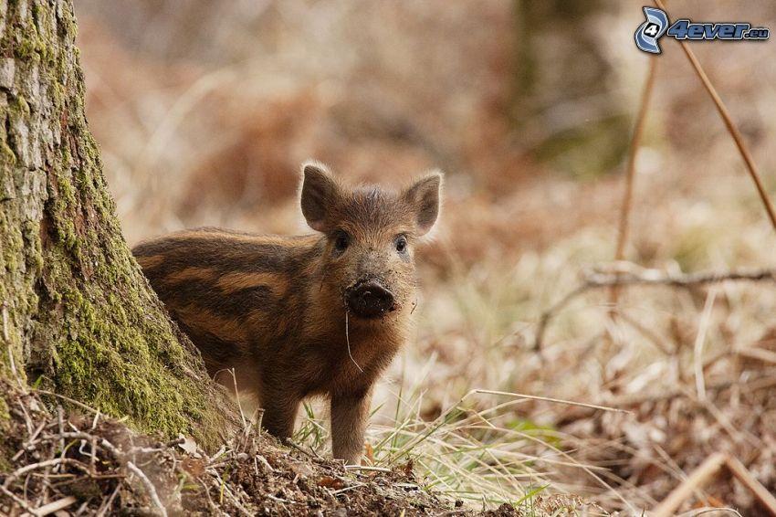 Wildschwein, Jungtier, Wald