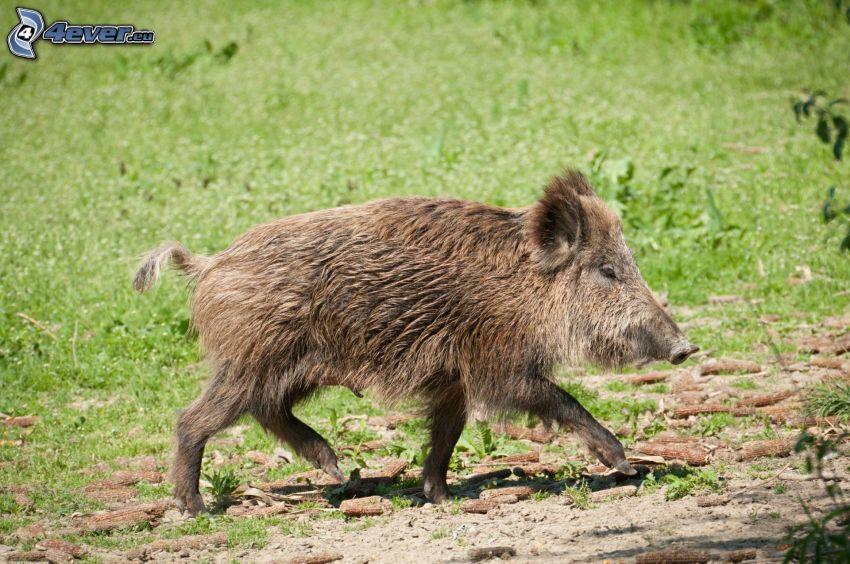 Wildschwein, Jungtier
