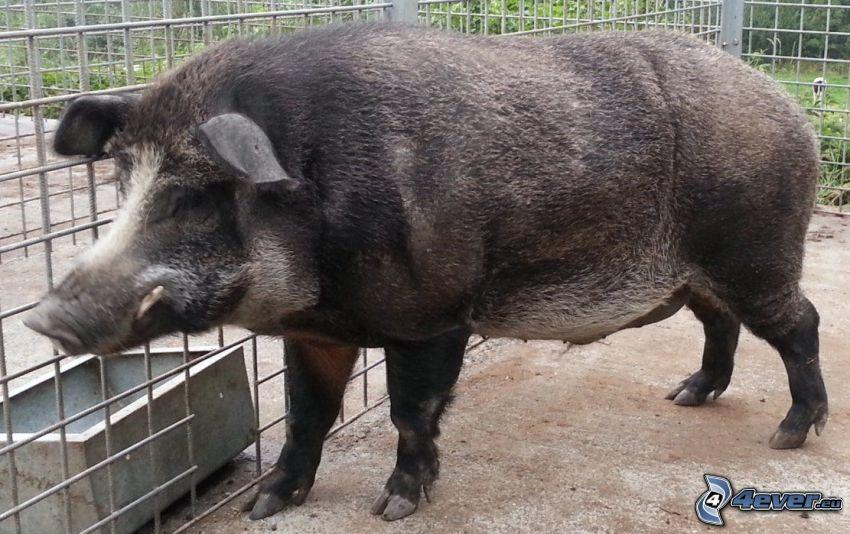 Wildschwein, Käfig