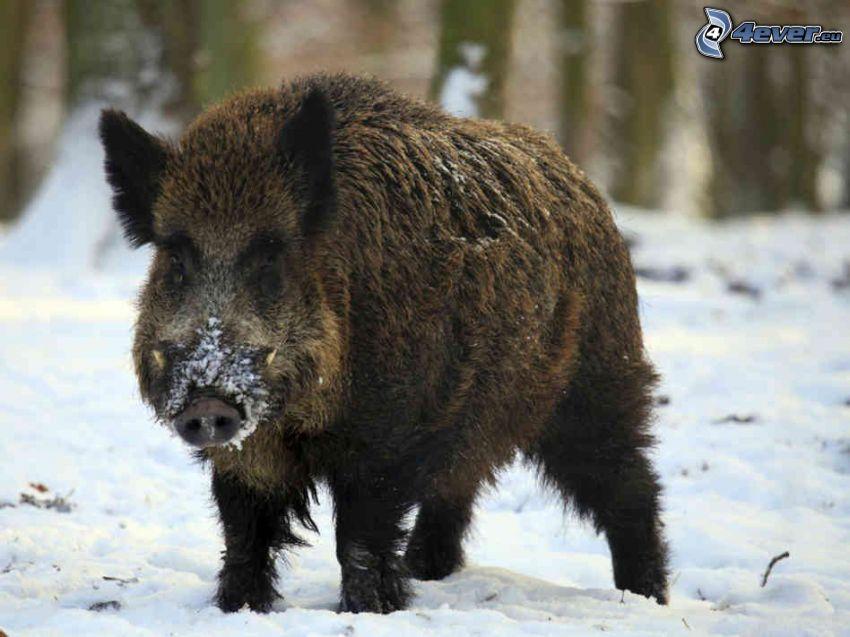 Wildschwein, Schnee