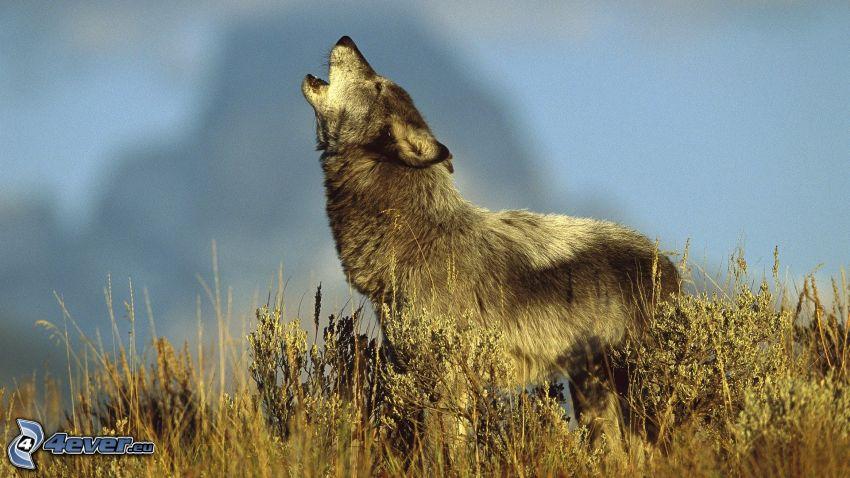 Wolf heult