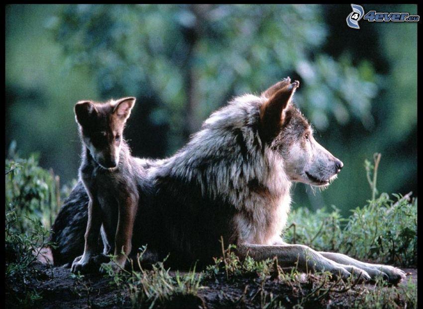 Wolf mit Welpchen, Welpe von Wolf, Wildnis