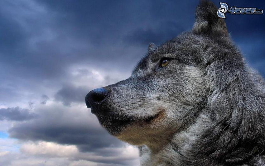 Wolfskopf, Schnauze, Blick