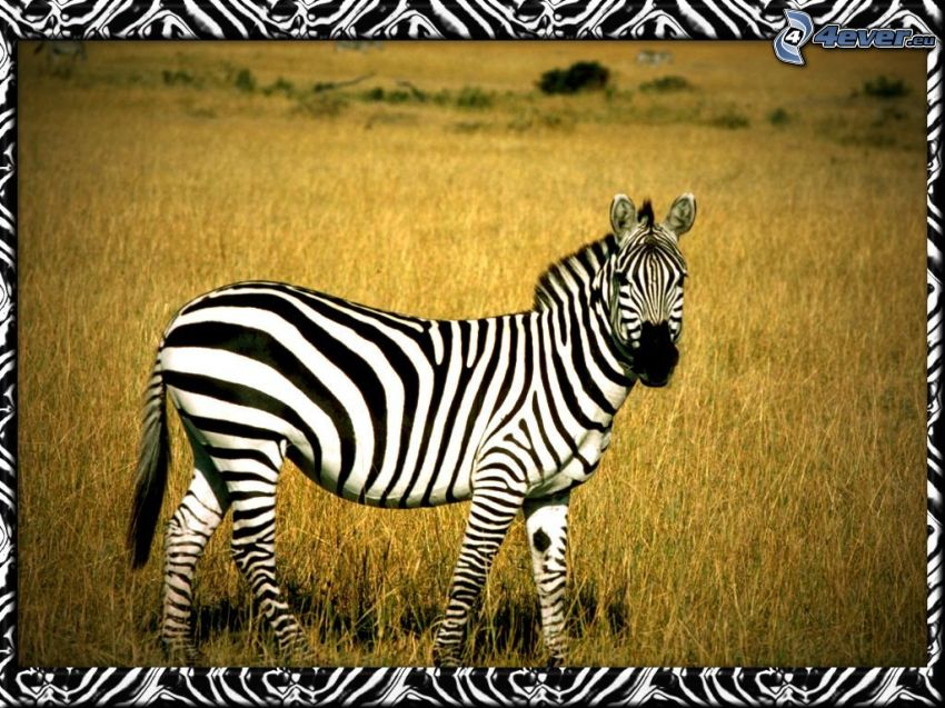 Zebra, Savanne