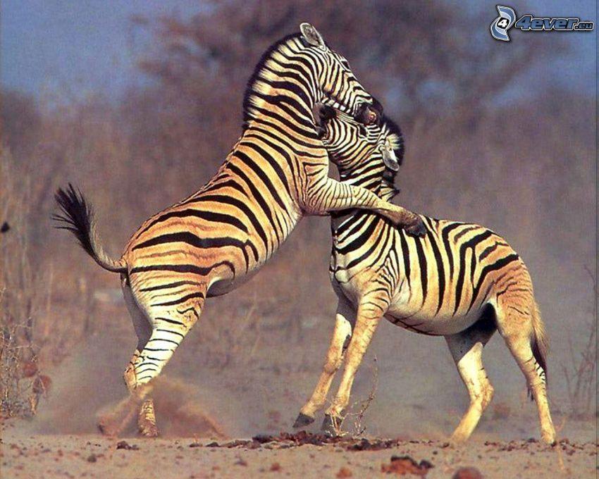 zebras, Umarmung