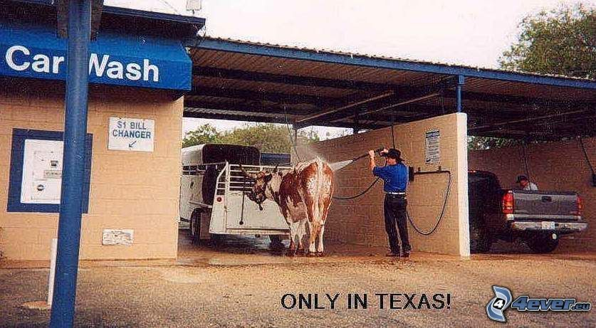 Texas, Waschanlage, Kuh