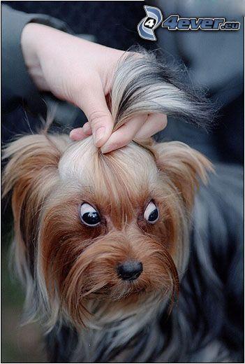 Augen, Yorkshire Terrier, gefrisierter Hund